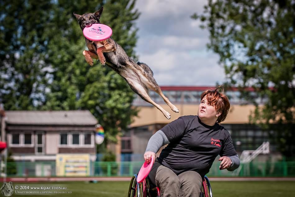 Zdjęcie z zawodów pokazujące moment, gdy pies chwyta powietrzy frisbee. Za nim siedzi Justyna na wózku i trzyma w ręku drugi dysk.