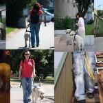 Zdjęcie przedstawia 7 różnych psów przedowników ze swoimi niewidomymi właścicielami.
