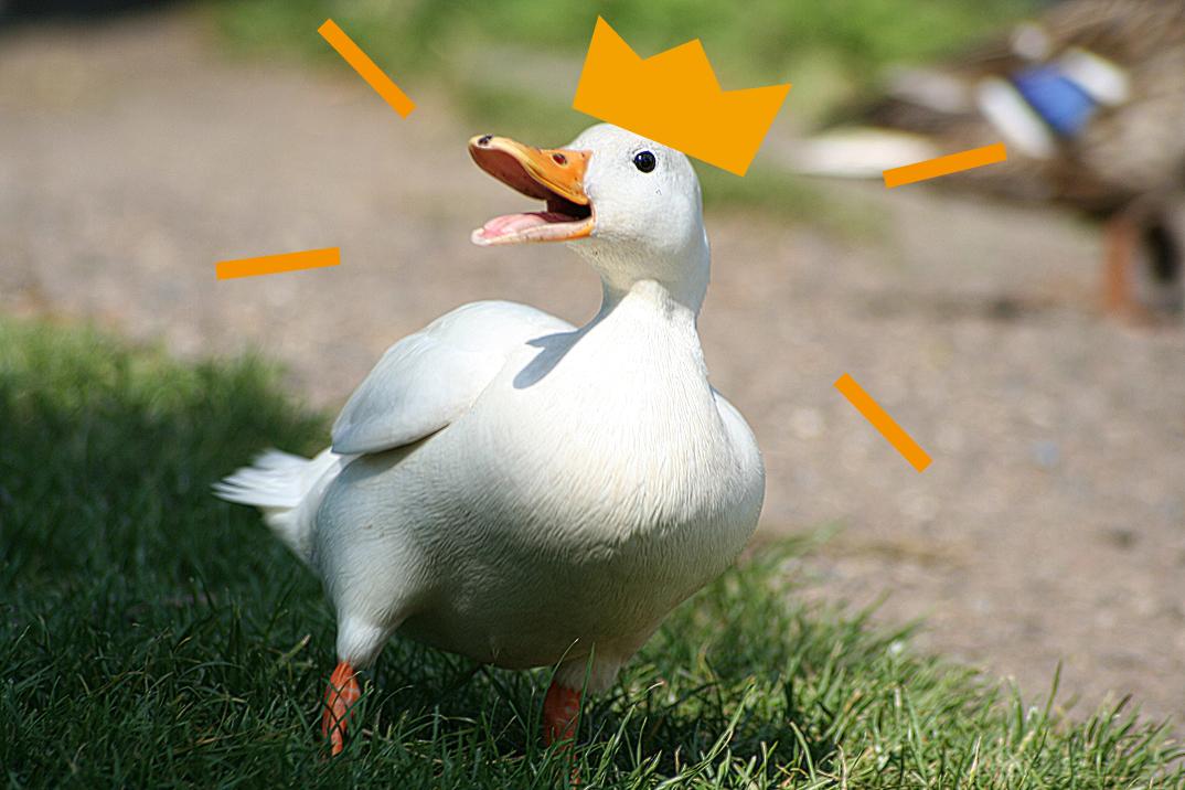 Zdjęcie przedstawia kaczkę z otwartym dziobem w koronie.
